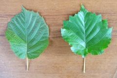 Листья Corylus