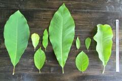 Листья магнолий