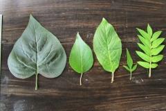 Листья рода Syringa