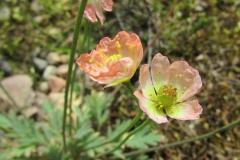 Papaver alboroseum