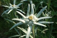 Antennaria rosea subsp. confinis