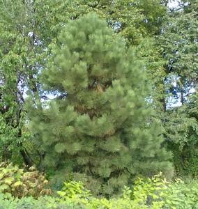 Pinus-ponderosa-var