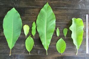 Листья некоторых наших видовых магнолий слева направо: м. обратнояйцевидная, м. кобус, м. цилиндрическая, м. вирджинская, м. трёхлепестная, м. иволистная, м. Зибольда, м. звёздчатая, м. лекарственная