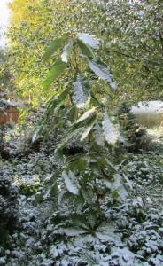 Магнолия обратнояйцевидная. Первые октябрьские заморозки