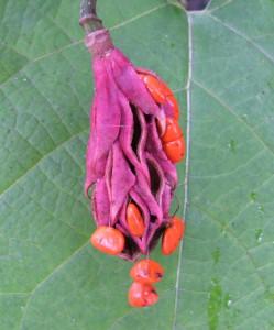 Плод магнолии Зибольда