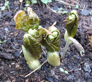 Подофилл гималайский ранней весной