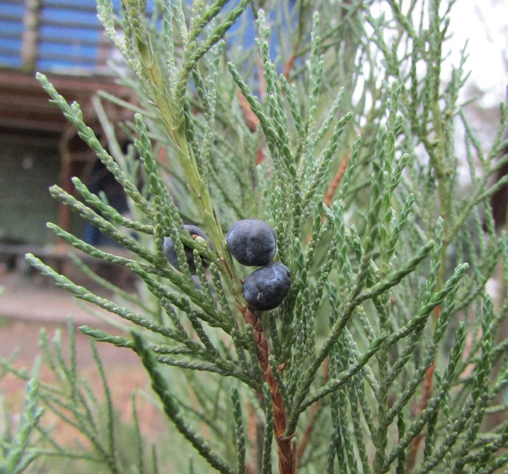 семена древесных растений